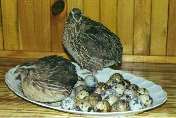 Птицы в доме — это своего рода лаборатория, в которой можно изучать психику и повадки пернатых, заниматься их приручением, вести селекционную работу, наблюдать брачное поведение самца и самки, процесс насиживания и выкармливания птенцов, их рост и развитие.
