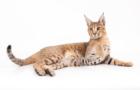 Уникальная внешность и характер кошек каракет