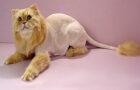 Стрижка кошек – секреты и советы